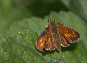 butterfly skipper